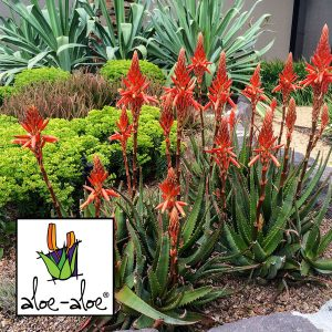 Aloe-Always-Red