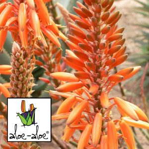 Aloe-Andreas-Orange