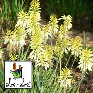 Aloe-Bush-Baby-Yellow