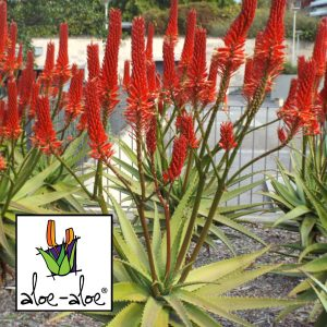 Aloe-Erik-The-Red