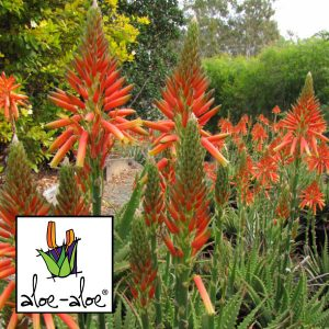 Aloe-Gemini