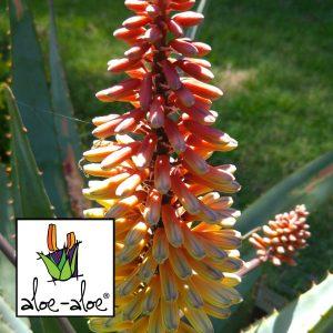 Aloe-Ivory-Dawn