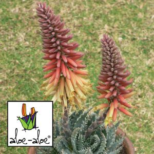Aloe-Mountain-Gem