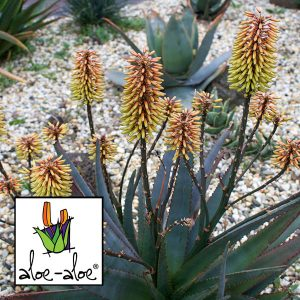 Aloe-Southern-Cross