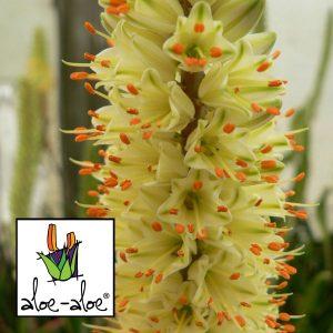 Aloe-Sparkler