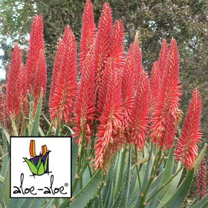Aloe-Super-Red