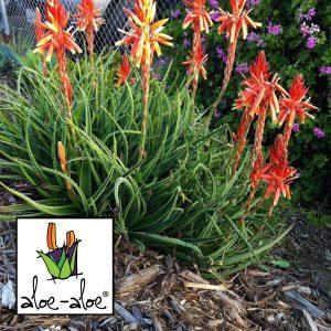 Aloe-Topaz