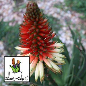 Aloe-Venus