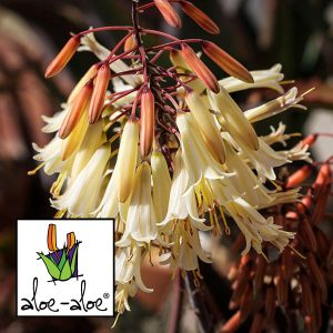 Aloe-Winter-Bells