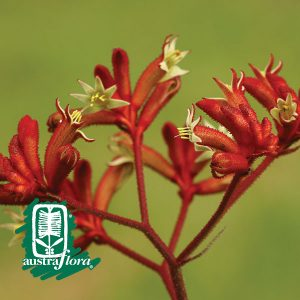 Anigozanthos-Frosty-Red