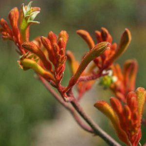 Anigozanthos-Orange-Cross