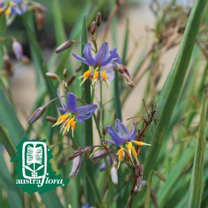 Dianella-Big-Blue