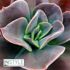 Echeveria-Blue-Metal