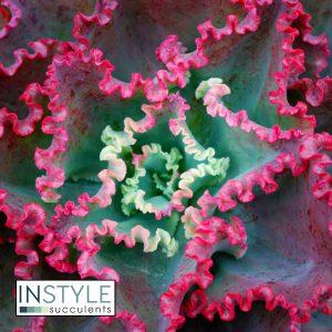 Echeveria-Dicks-Pink