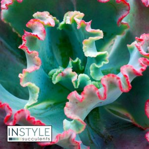 Echeveria-Fire-and-Ice