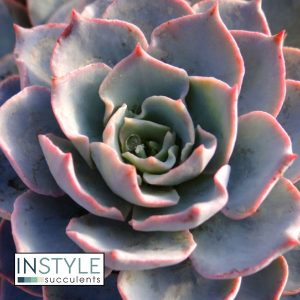 Echeveria-Morning-Beauty
