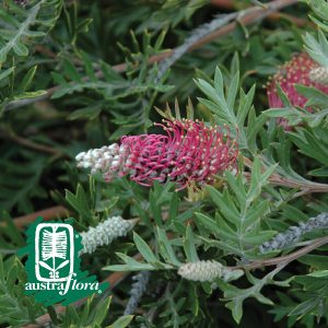 Grevillea-Carpet-Layer
