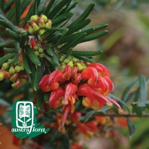 Grevillea-Charlies-Angel