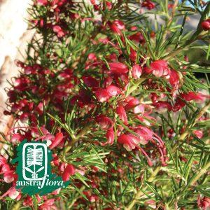 Grevillea-Cherry-Ripe