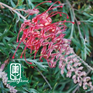 Grevillea-Little-Robyn
