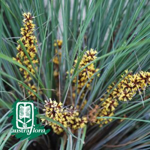 Lomandra-Frosty-Top