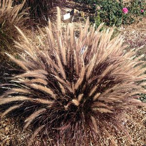 Pennisetum-Red-Riding-Hood