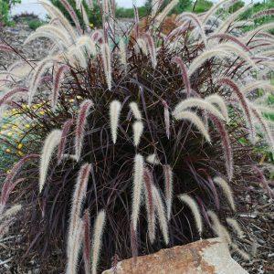 Pennisetum-Rubrum