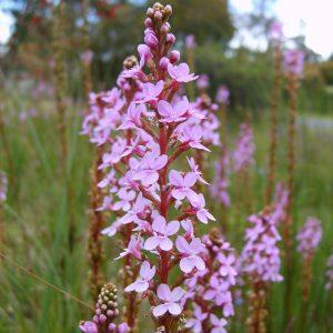 Stylidium-Graminifolium