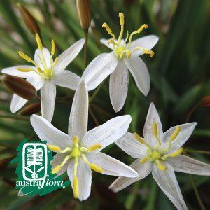 Thelionema-Lily-White